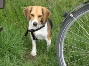 Beagle sitzt neben einem Fahrrad