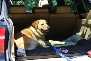 Golden Retriever im Kofferraum gesichert