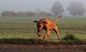 Hund rennt davon