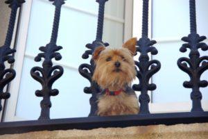 Hund guckt vom Balkon