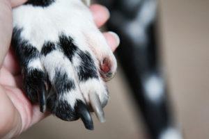 Hundekralle verletzt