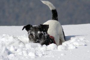 Jack Russel sucht Etwas im Schnee