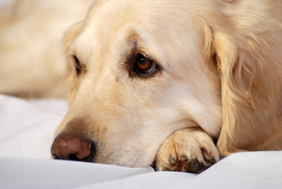 Hundefloh erkennen und bekämpfen