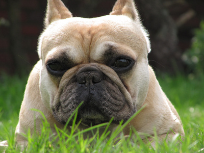 Rückwärtsniesen beim Hund – Was ist das?