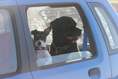Wie transportiere ich meinen Hund sicher im Auto?