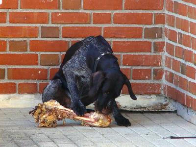 Barfen beim Hund – Was ist das?