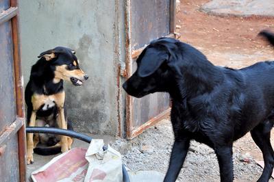 Kleiner Hund zeigt großem Hund die Zähne