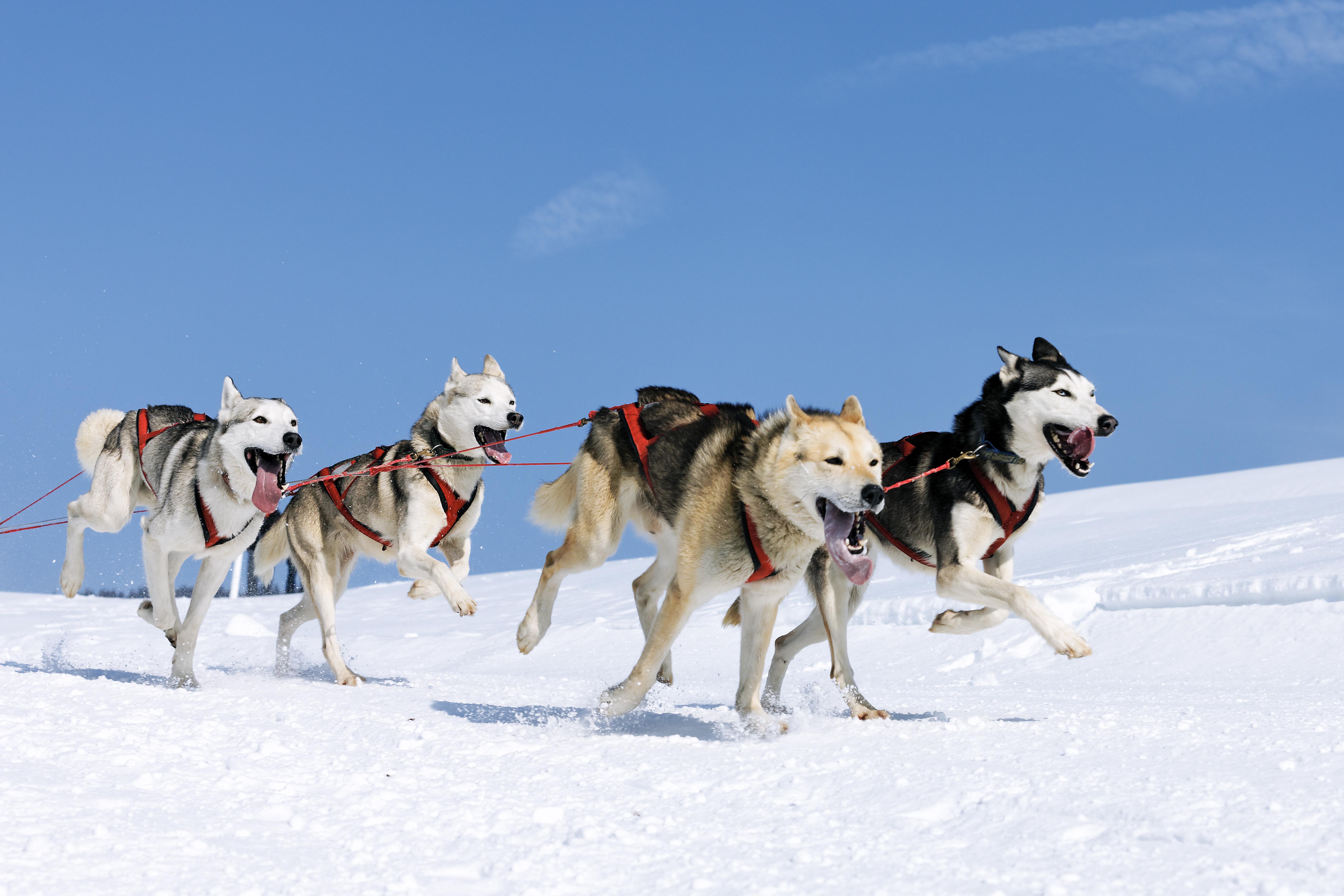 Huskys laufen zusammen