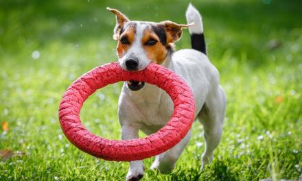 Wie wichtig ist Hundespielzeug für die Erziehung?